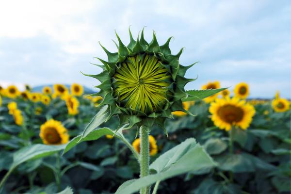 Cánh đồng hoa hướng dương 60 ha ở Nghệ An đã bung nở